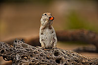 /images/133/2019-06-06-gv-creatures-viv1-a7r3_15381.jpg - #14730: Round Tailed Ground Squirrel in Green Valley … June 2019 -- Green Valley, Arizona