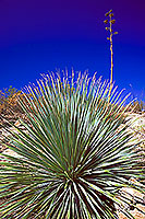 Desert Spoon with Agave Plant in the background, at midday at Superstition Mountains