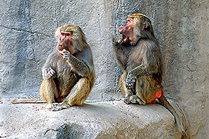 Female Baboons at the Phoenix Zoo