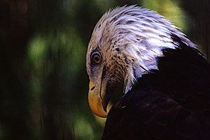 Bald Eagle at the Phoenix Zoo