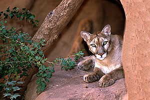 Puma (Mountain Lion) at the Phoenix Zoo