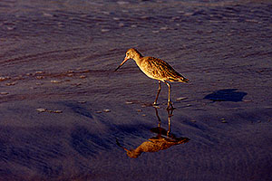 Marbled Godwit in South Carlsbad