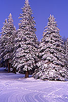 Snowy trees in Snowbowl