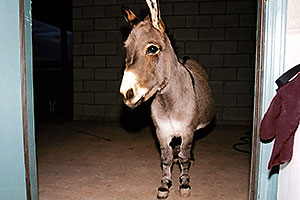 Donkey in Cave Creek