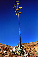 Agave Plant in Superstition Mountains