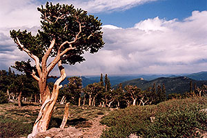 Bristlecone Pine trees - they are hundreds of years old, oldest here are 1,700 years old … near start of Mt Evans road