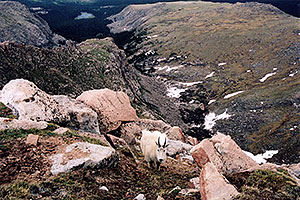 Mountain Goats at Mt Evans