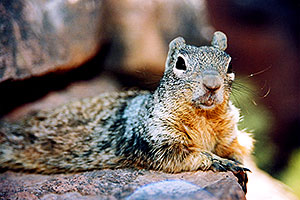 friendly Squirrel posing in Grand Canyon
