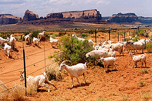 Goats in Monument Valley