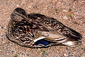 mother duck resting with one eye open … near a river by Sprague