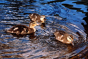 3 ducklings at a river by Sprague Lake