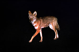 Coyote on the road of Mt Evans  … eating night flies, not attacking me
