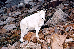 little Mountain Goat at Mt Evans