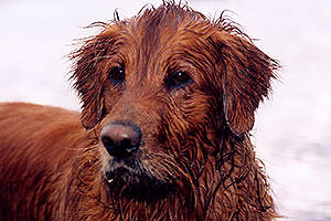 wet Max (Golden Retriever) at Twin Lakes