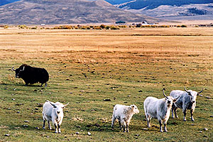 Yaks in the late afternoon near Sargeants, Colorado