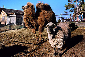 Zola (Camel) and Timmy (Ram)