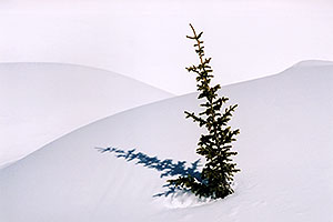 a lone tree near Molas Pass