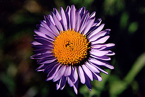Purple Daisy flower, above Independence Pass
