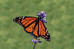 Monarch butterfly in Oakville Gardens
