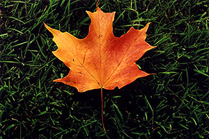 maple leaf in Oakville