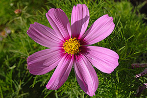 Pink daisy in Lone Tree