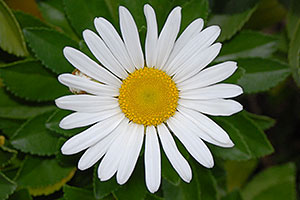 white daisy in Oakville