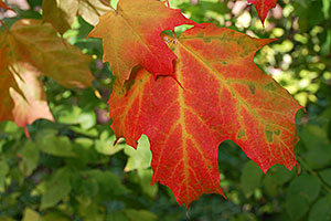 Fall maple leaf in Oakville