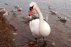 White Swan in Toronto … images of Toronto, Canada