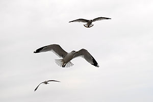 3 seagulls in flight above Oakville