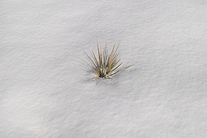 Grass peaking through the snow