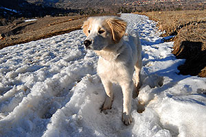 Stella (Golden Retriever and Great Pyrenees mix) in Boulder