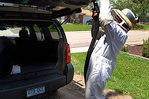 Beekeeper Phil moving bees to a new home - A swarm of 2,500 bees with a queen moved into the back of my Xterra