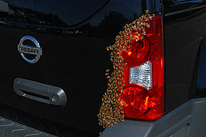 Honey Bee swarm (wth a queen) in the crack in the back of my Xterra