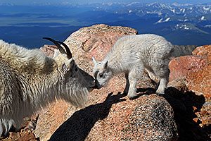 Mother Mountain Goat kissing her baby at Mt Evans