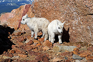 2 Baby Mountain Goats at Mt Evans