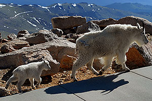 Baby Mountain Goat following her mother at Mt Evans