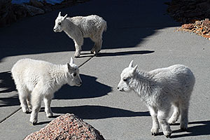 3 Baby Mountain Goats at Mt Evans