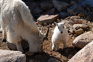 Baby Mountain Goat with her mother