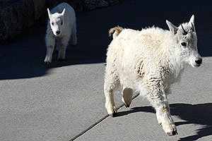Baby Mountain Goat with her year older sister