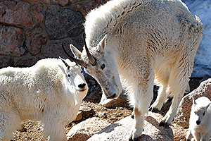 Mountain Goats of Mt Evans