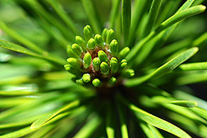 The beginnings of a pine cone - along La Plata Peak trail