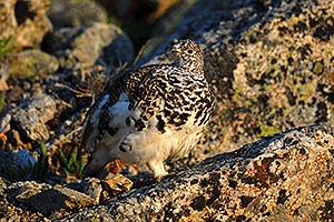 Red eyed male Alpine Ptarmigan along La Plata Peak trail