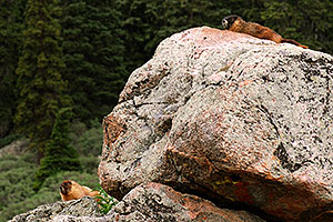 Marmots along the way up Mt Spalding