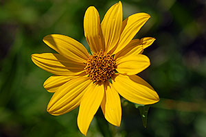 Yellow Flower by Firehole River