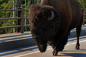 Buffalo crossing a bridge near Canyon Village