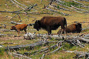 Buffalo Family - father sitting, mother standing with little calf