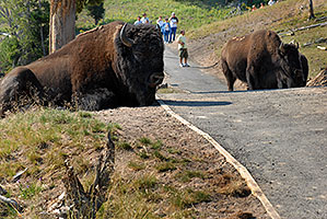 Buffalo resting near trail - people walking at a safe distance