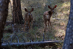 Two fawns in the woods near Tower Fall