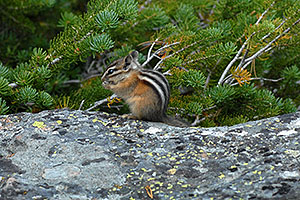 Chipmunk posing next to Lookout Point
