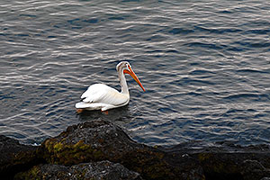 American White Pelican swimming on Yellowstone Lake